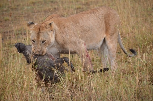 Lion killing