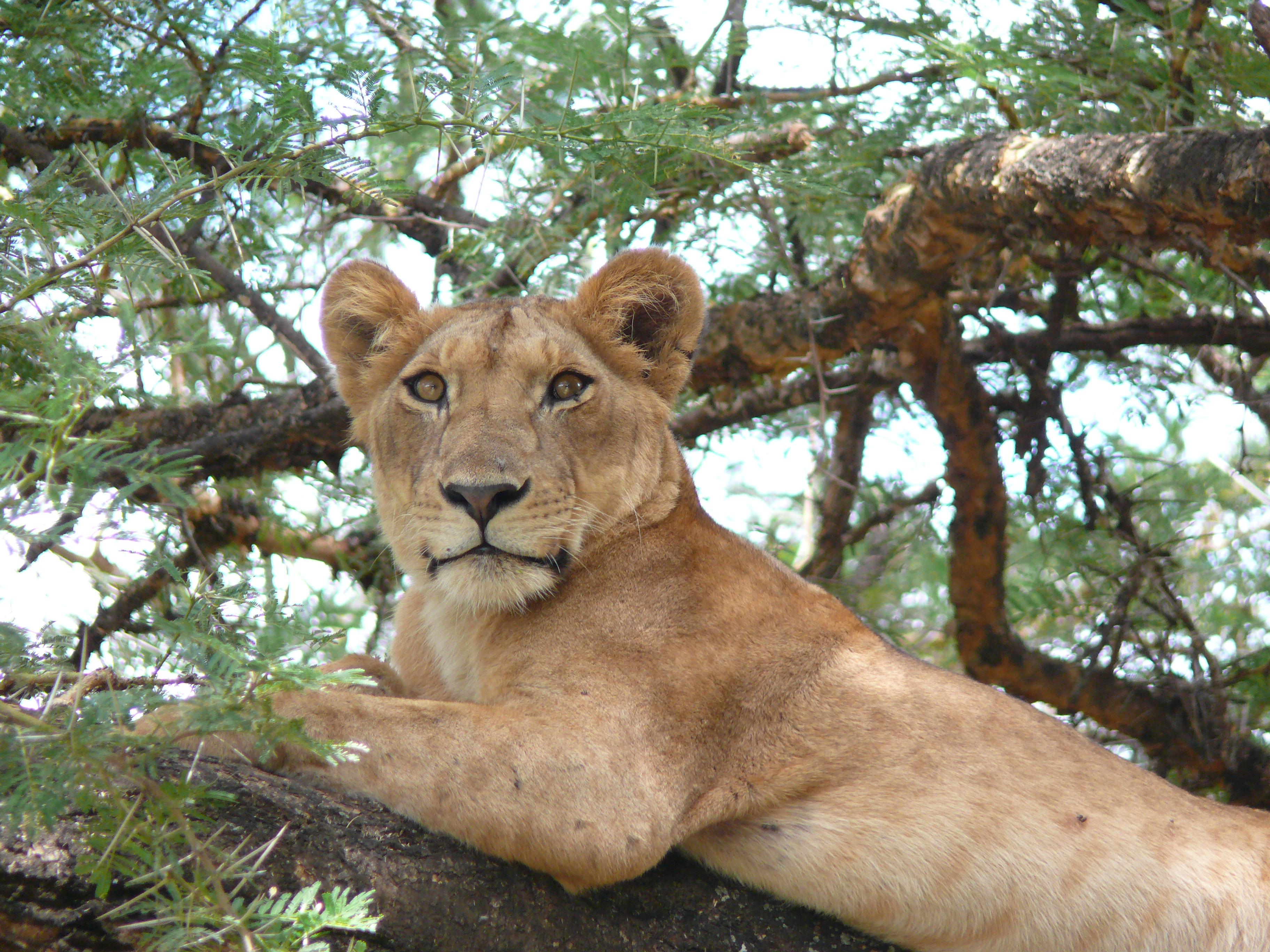 Lion#