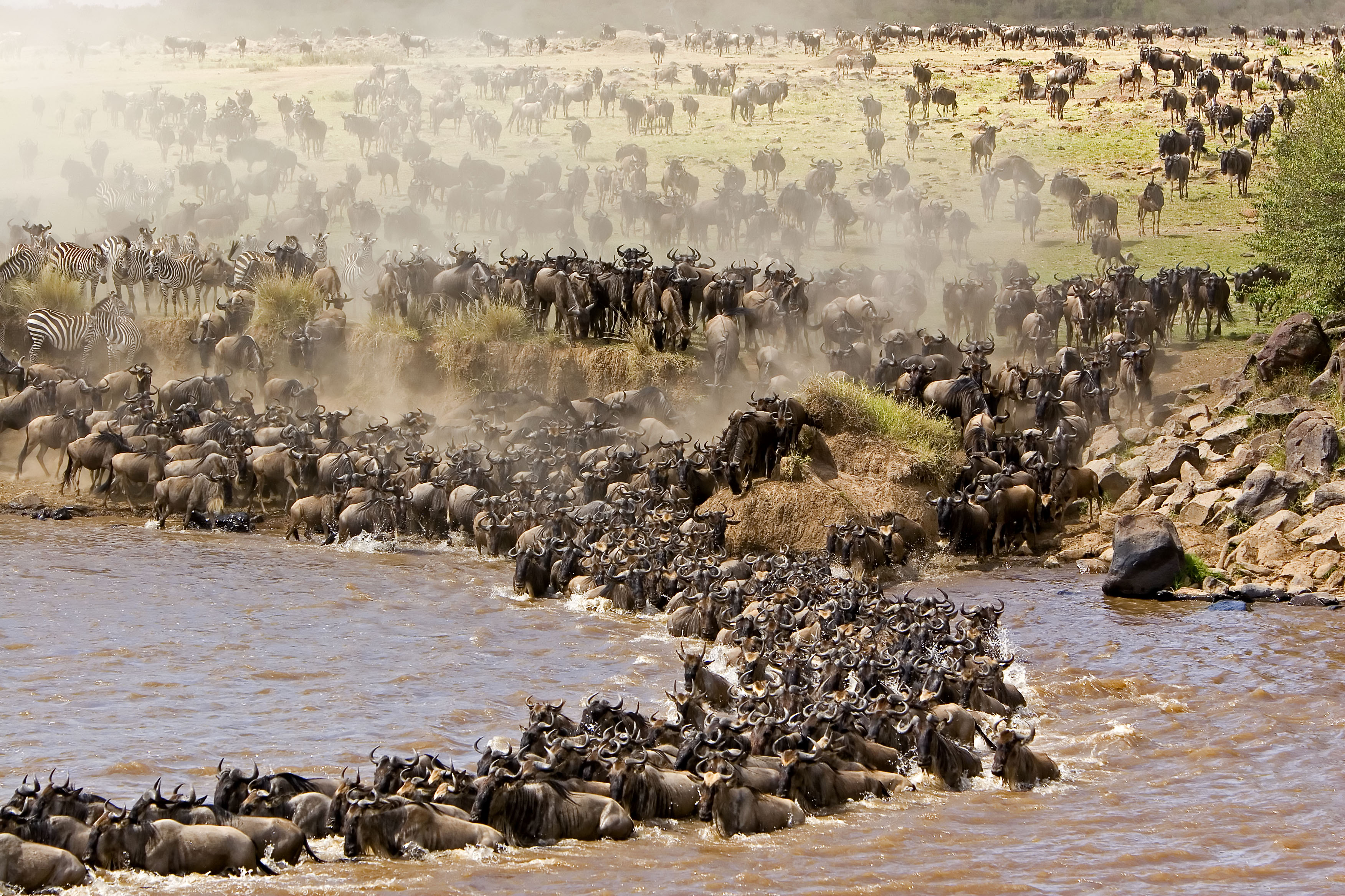 Wildebeest#