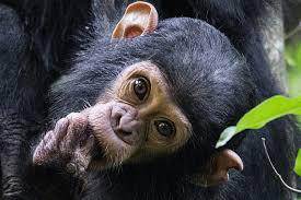 chimp#