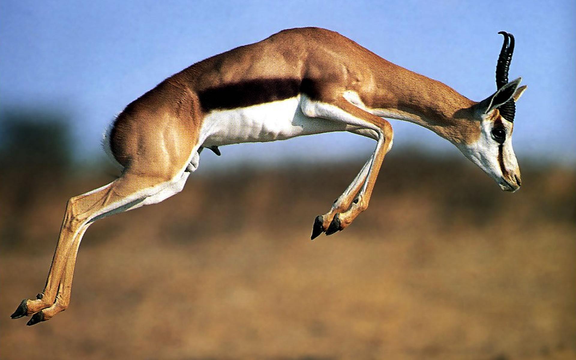 Thomson gazelle 1