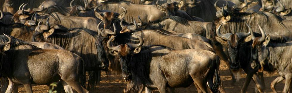 Wildebeest Migr